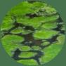 Aquatics_algae