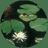 Aquatics_floting-leaf-plants