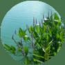 Aquatics_pond-weeds