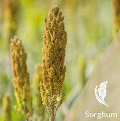 Grain Sorghum - Efficient, high-energy, drought tolerant and environmentally friendly.